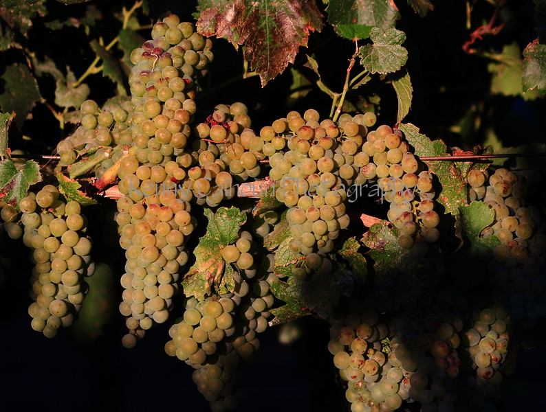 Sunset White Grapes