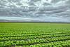 Yuma Lettuce Harvest-