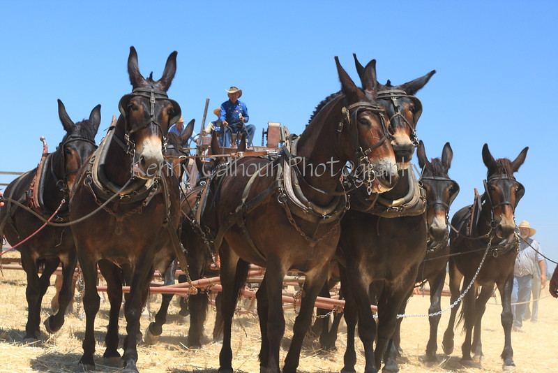 Mule Team Pulling a Wheat Harvester