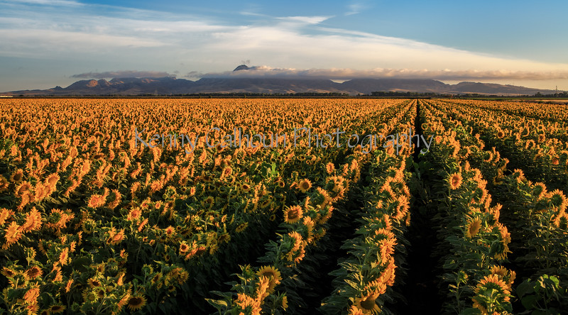 Buttes and Sunflowers_N5A6401-Edit