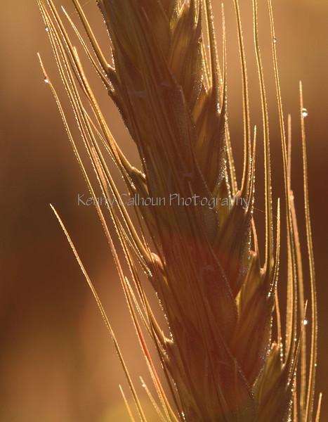 Wheat At Sunrise 2