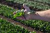 Yuma Spinach 11-4-4913-2