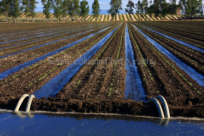 Irrigating Sunflowers
