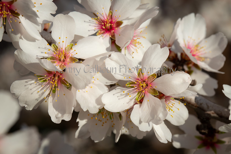 Almond Blooms 2-22-20-1636