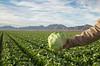 Head Lettuce 12-4 Dome-4126