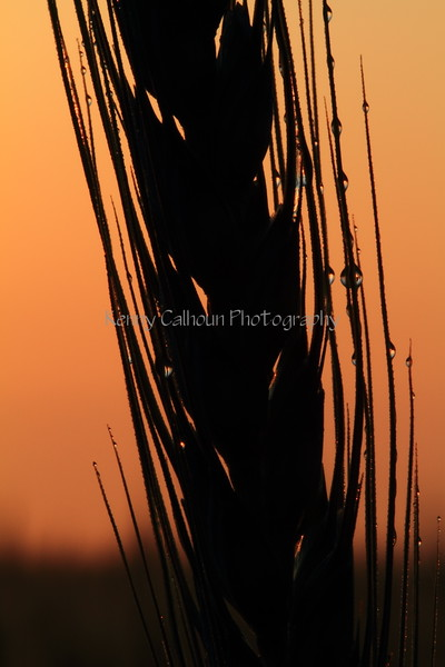 Wheat At Sunrise 11