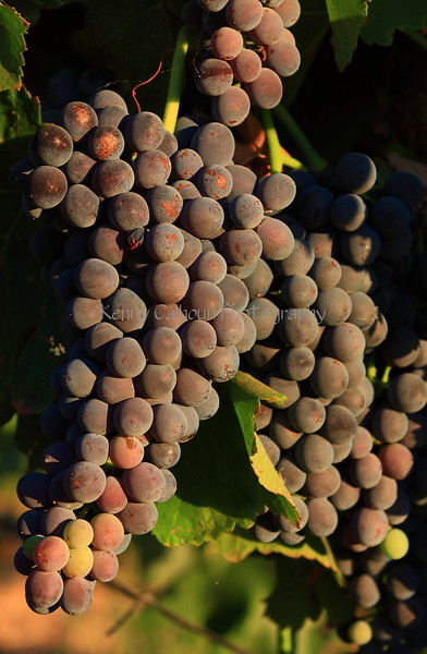 Sunset Red Grapes