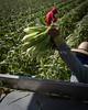 Sweet Corn Pappas Harvest_N5A8535