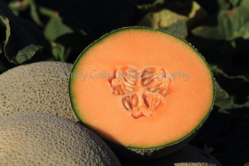 Melon Ready For Harvest 3