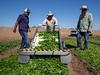 Yuma Spinach 11-4-5052-2