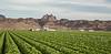 Head Lettuce 12-4 Dome-4148