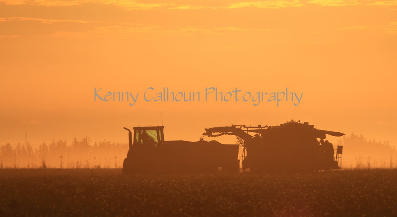 Processing Tomato Harvester At Sunrise