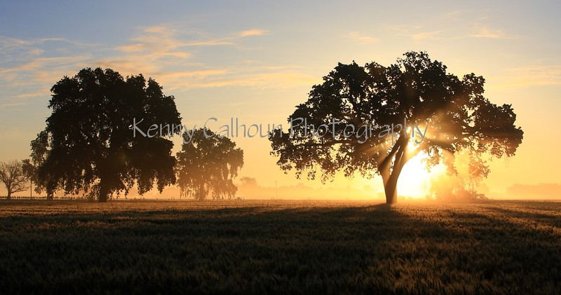 Oak Trees and Wheat at Sunrise