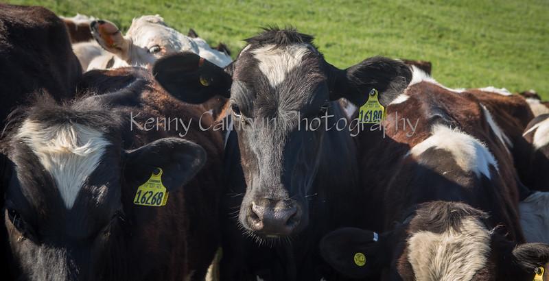 Happy California Cows_N5A4808
