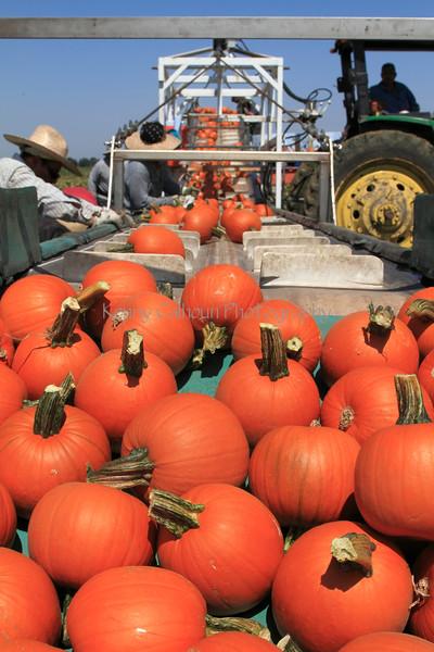 IMG_5089Pumpkin_Harvest