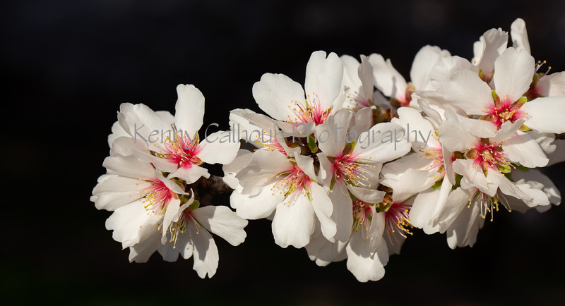 Almond Blooms 2-22-20-1615