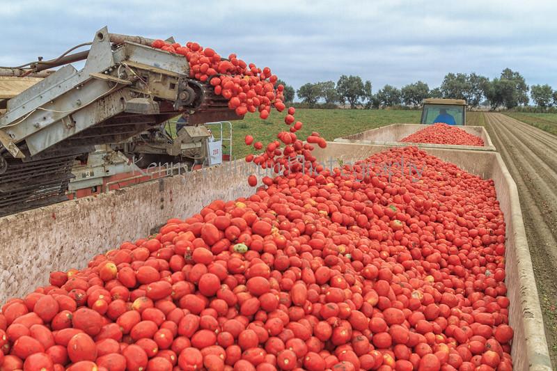 Tomato_Harvest_August_31,_2012IMG_8567untitled