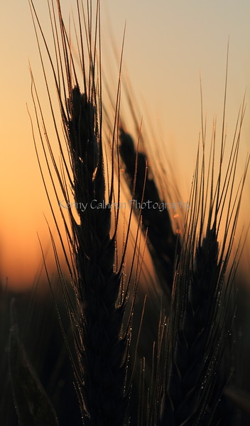 Wheat At Sunrise 3