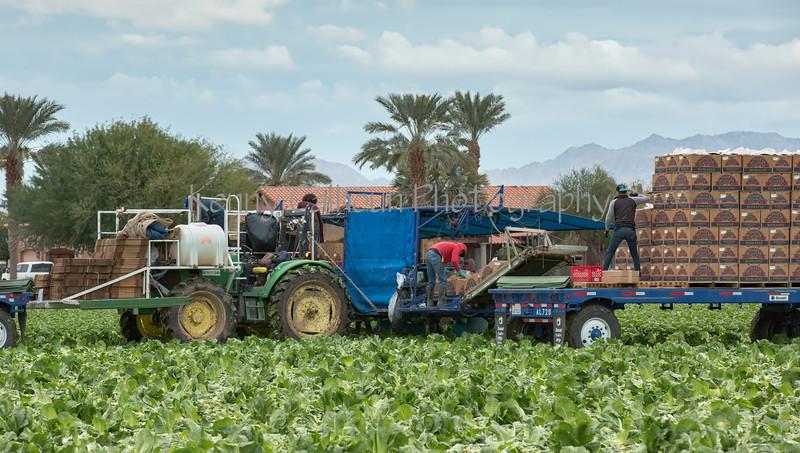 Yuma Lettuce Harvest--11