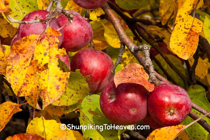 Autumn Apple Tree, Dane County, Wisconsin