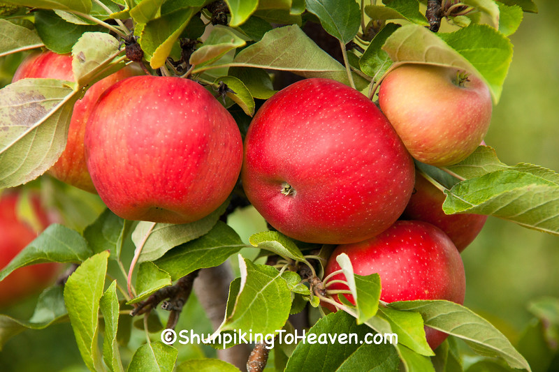 Apples on the Tree, Sunrise Orchards, Crawford County, Wisconsin
