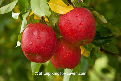 Apples in the Rain, Crawford County, Wisconsin