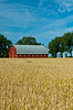 A red barn and ripe wheat field near Roland, Manitoba, Canada.