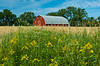 A red barn, ripe wheat field and golden rod flowers near Roland, Manitoba, Canada.