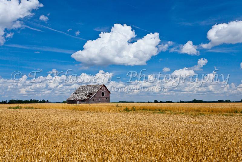 An old barn in a field of ripe wheat near Notre Dame de Lourdes, Manitoba, Canada.