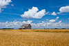 An old barn in a field of ripe wheat near Notre Dame de Lourdes, Manitoba, Canada.