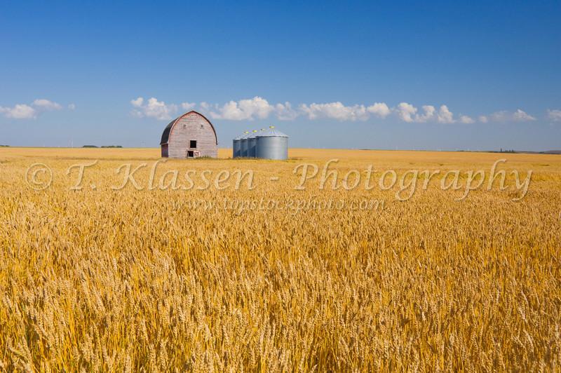 A ripe wheat field with an old barn and grain storage bins near St. Leon,  Manitoba, Canada.