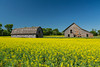 An old barn in a yellow canola field near Blumenfeld, Manitoba, Canada.