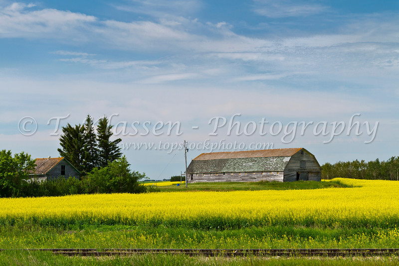 A yellow blooming canola field with an old barn in rural Saskatchewan, Canada.