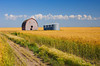 A ripe wheat field with an old barn and grain storage bins near St. Leon,  Manitoba, Canada.