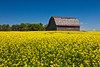 An old barn in a field of blooming yellow canola near Bruxelles, Manitoba, Canada.