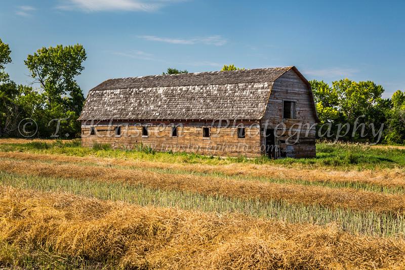 An old barn in a swathed canola field near Blumenfeld, Manitoba, Canada.