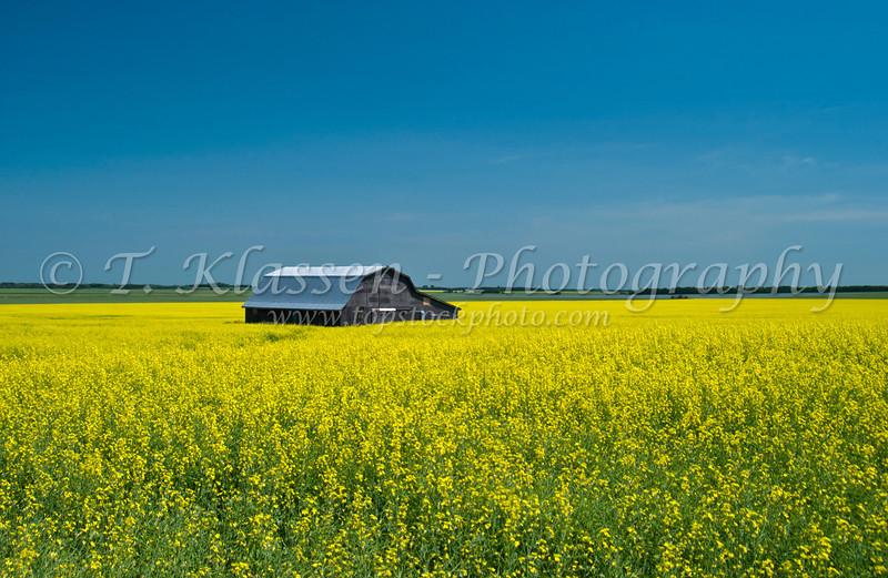Canola rapeseed grain in bloom with farm barn near Holland, Manitoba, Canada.