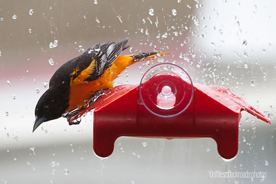 Window Oriole