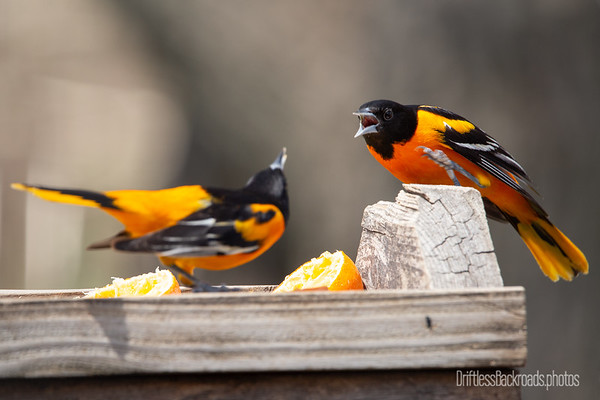 Fighting Orioles