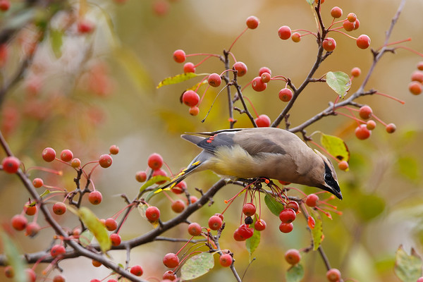 Berry Eating Waxwing