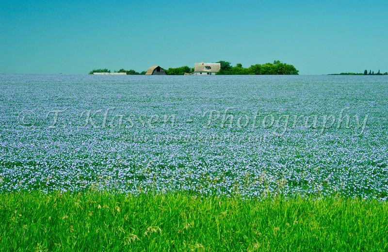 Flax grain field and old farm buildings in rural southern Manitoba, Canada.