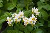 Closeup of potato plants in bloom near Winkler, Manitoba, Canada.