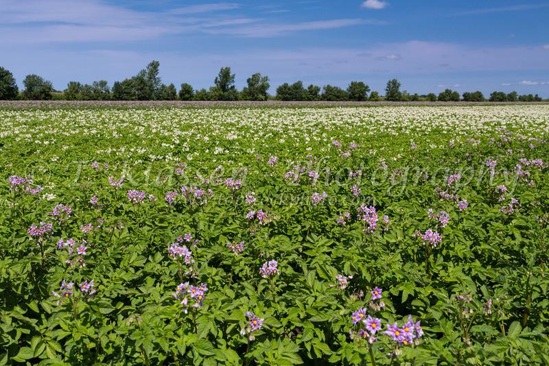 A blooming potato field near Winkler , Manitoba, Canada.