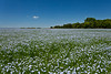 A blooming flax field near Winkler, Manitoba, Canada.