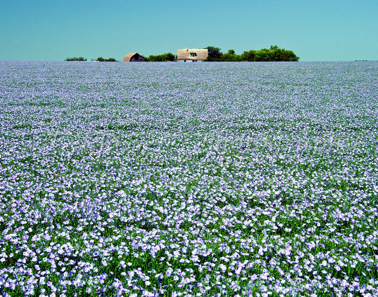 Flax grain field in bloom with old farm buildings in rural southern Manitoba, Canada.