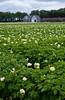 Potato field in bloom with farm yard near Winkler, Manitoba, Canada.
