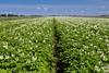A blooming potato field near Winkler , Manitoba, Canada.