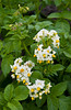 Closeup of potatoe plants in bloom near Winkler, Manitoba, Canada.