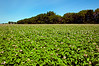 Potatoe field in bloom near Winkler, Manitoba, Canada.