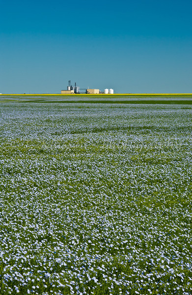 Blooming flax and canola field near St. Agathe, Manitoba, Canada.